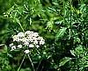 Organic Medical Herb Seeds