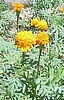 Mexican Marigold, Natural Weed Killer.