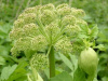 NEW! Angelica (Angelica archangelica)