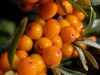 NEW! Wild Sea Buckthorn (Hippophae Rhamnoides) Seeds