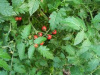 "Tomato Red Currant - "" close to wild"""