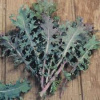 Red Russian Kale.